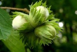 Лесной орех (лещина)